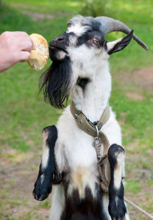 Haven't you Herd? Goats Hired to Clean City