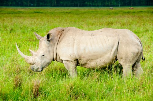 Rhinos May Become Extinct in 10 Years