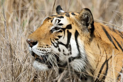 Increased Protection in Wild Tiger Campaign