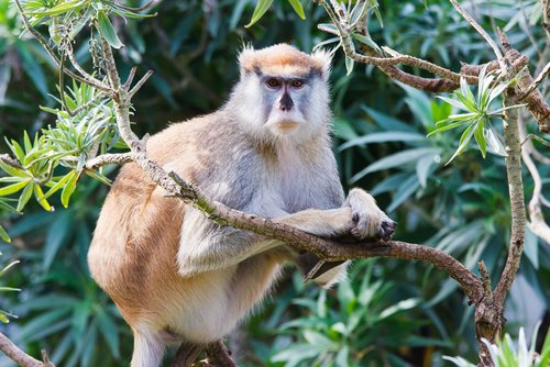 Idaho Man Charged with Killing Protected Patas Monkey